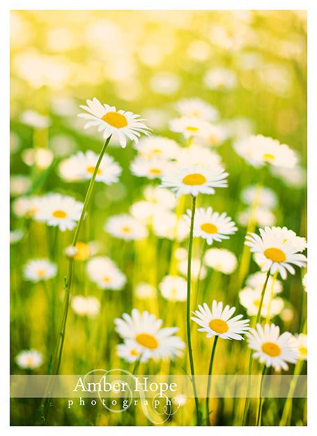 Daisy 02 web